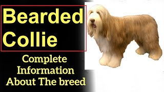 Bearded Collie. Pros and Cons, Price, How to choose, Facts, Care, History