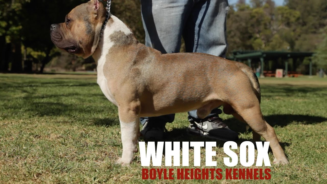 american bully white sox youtube