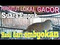 Perkutut Lokal Gacor Suara Empuk Hasil Dari Ombyokan Manggung Gayer Tiap Hari  Mp3 - Mp4 Download