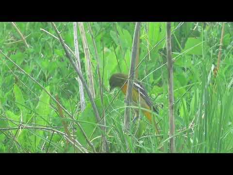 Female Baltimore Oriole gathering  nest material