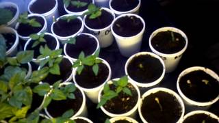 how to grow peppers indoors seed giveaway