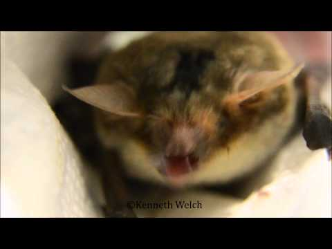 Myotis fish-eating bat...eating a piece of shrimp