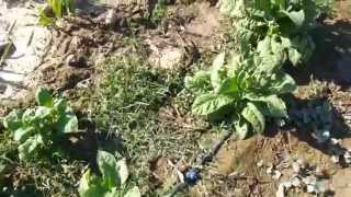 Tobacco Farming India [seeds]