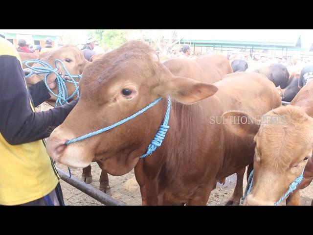 bakalan 19,5 juta Sapi Limusin Pasar Hewan Tuban 2019