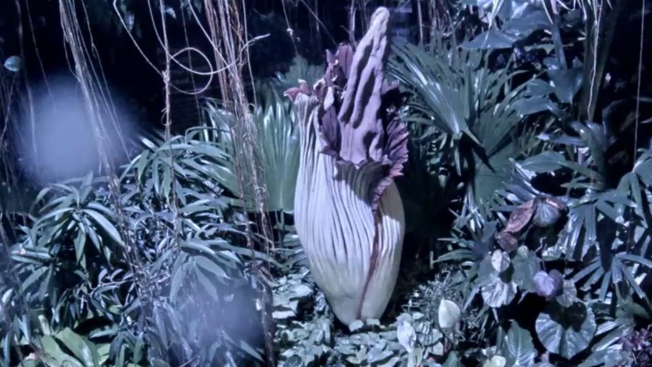 Cleveland Metroparks Zoo Corpse Flower Live Stream