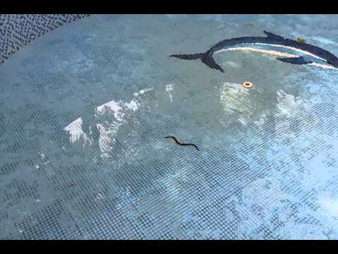 a snake in my swimming pool youtube. Black Bedroom Furniture Sets. Home Design Ideas