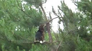 Tree Climbing Beagle