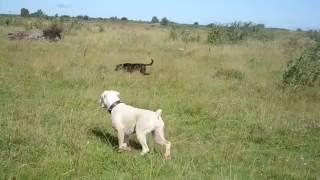 Приближающийся серый конь вызывает лёгкую панику у собак