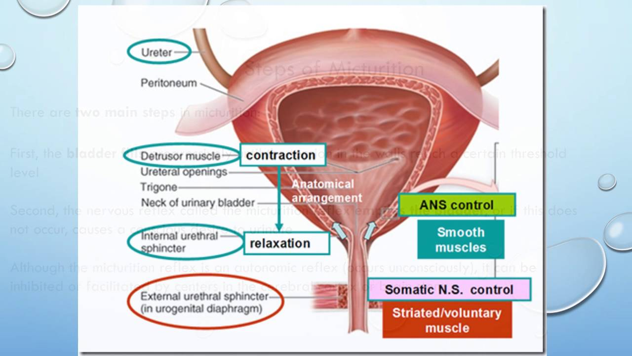Micturition process - YouTube