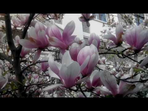 Когда цветёт Магнолия - sad-