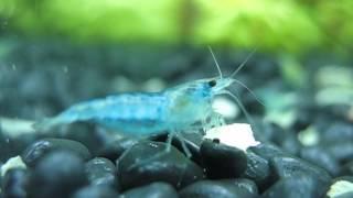 of neocaridina shrimp, specifically carbon rili, and red cherry shrimp ...