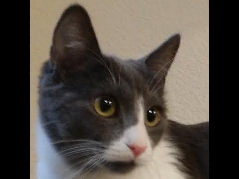Christy, an adoptable Female Shorthair cat