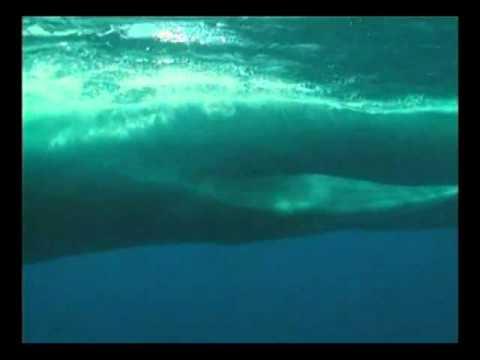 hqdefault - Baleines, rorquals