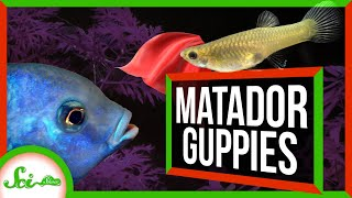 Meet the Daring Matador Guppies of Trinidad