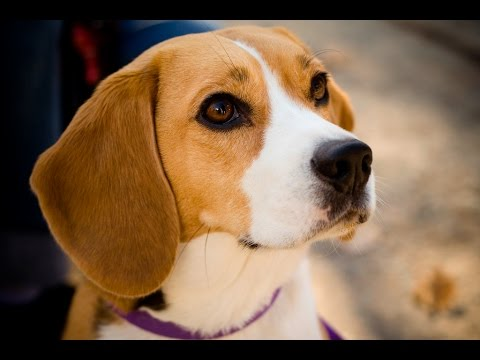 Beagle / dog breed