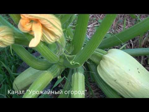 КАК ПОЛУЧИТЬ ОЧЕНЬ МНОГО КАБАЧКОВ С ОДНОГО КУСТА! | выращивание | урожайный | удобрение | вырастить | кабачков | кабачок | кабачки | урожай | способ | огород