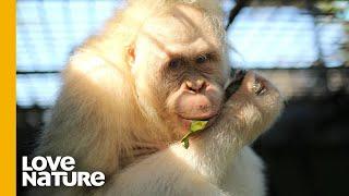 The World's Only Albino Orangutan   FULL Compilation   Love Nature