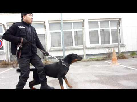 Beauceron acs77 pour Vietdog.com