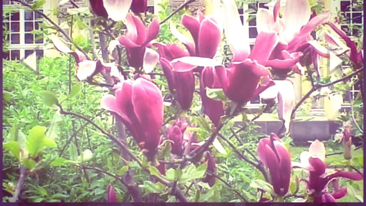Gambar Bunga Kenanga Merah Gambar Bunga