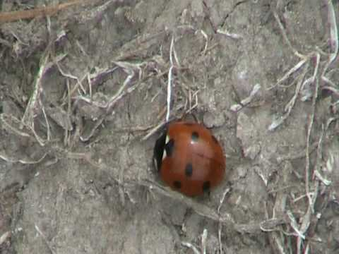 Seven-spotted Lady Beetle (Coccinellidae; Coccinella septempunctata) Resting