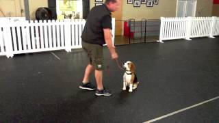 Miles Dawson, Young Beagle, Dog Training Charlotte North Carolina