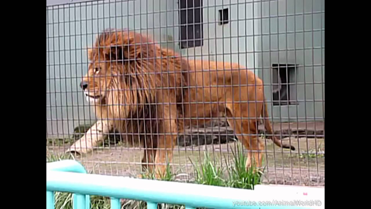 Image Result For Angry Lion Hd Image