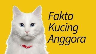 10 Fakta Kucing Anggora—Kucing FAVORIT!