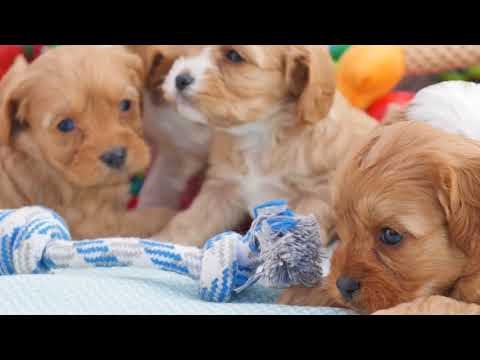 Adorable Toy Cavoodle pups