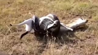 【野生動物】アナコンダ絞め殺し衝撃映像!閲覧注意!弱肉強食の世界。 アナコンダ 検索動画 23