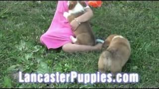 Adorable Welsh Corgi Puppies For Sale!