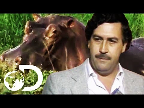 Pablo Escobar's Illegal Hippos On The Run In Colombia | Drug Kingpin Hippos