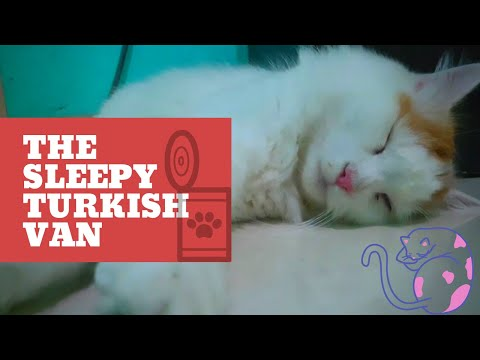 Millo The Turkish Van : Sleepy