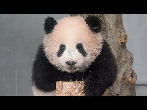 20日公開されたパンダの赤ちゃん「シャンシャン」