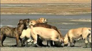Boerboel Dogs