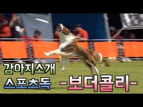 보더콜리 원반던지기 영상 모음 Disc Dog Border Collie, The World's Smartest Dogs