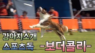 보더콜리 원반던지기 영상 모음 Disc Dog Border Collie, The World's Smartest Dogs
