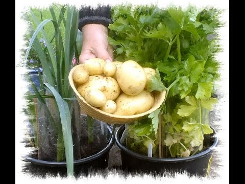 Potato Reveal. How To Grow Potatoes In Shopping Bags On Your Patio Or In  Your Backyard.