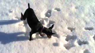 Min Pin Sees Snow For The First Time