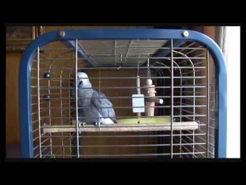 Papegaai die praat en zingt