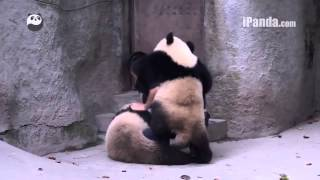 Pandas refuse to take medicine... cute giant panda,可爱大熊猫
