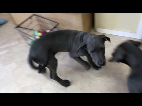 Girl Blue Great Dane Pups