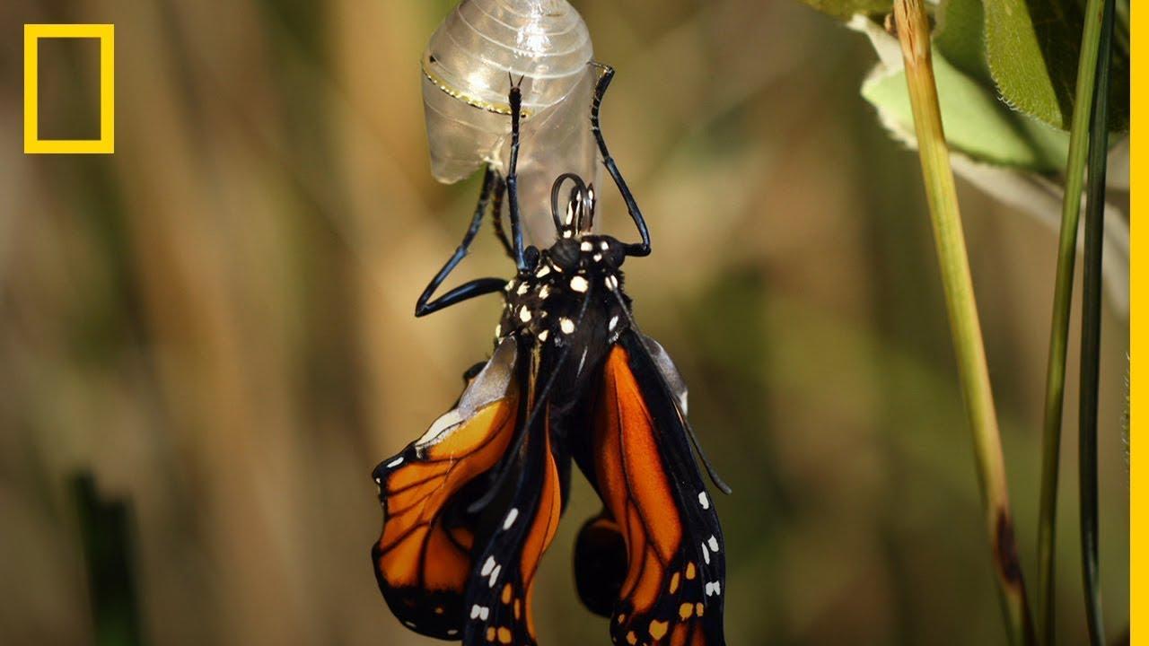 Cuánto Tarda Una Larva En Convertirse En Esta Bella Mariposa National Geographic En Español