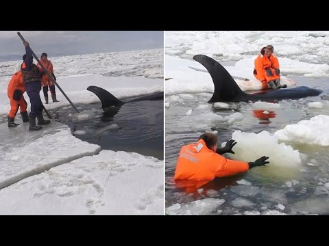 Video captures rescue of orcas trapped in ice floes in Russia
