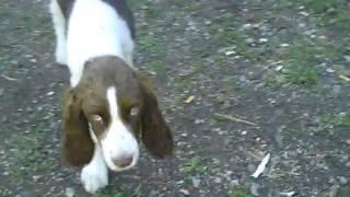English Springer Spaniel   Bella Poisoned With Anti Freeze In Thunder Bay. Ontario. Onion Lake Road.