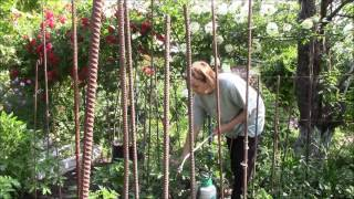 Супер экологичный раствор для лечения кустов помидор!!(Кусты помидор лечение cупер экологичным раствором! Раствор готовится очень просто. Составляющие - молоко,..., 2016-06-04T09:53:41.000Z)