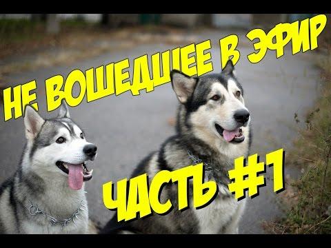 Сборка видео о собаках: хаски и маламут / часть #1