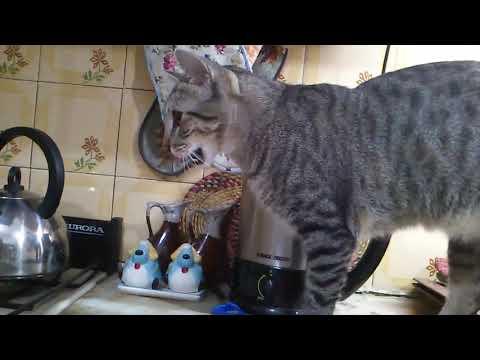 Gata Mau Egipcio comiendo - Mau Egyptian cat eating