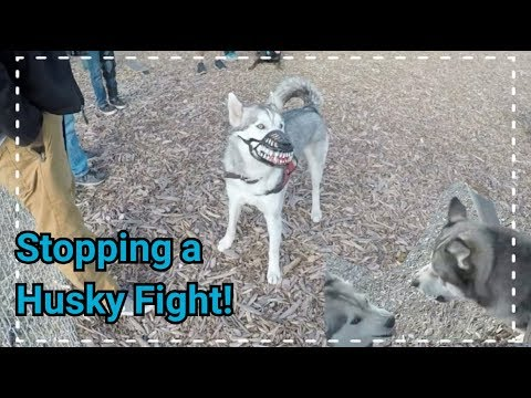How To Skate for Beginners, Stopping a Husky Dog Fight!, Dog Muzzle