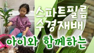 집에서 스파트필름 수경재배(feat. 아이와 함께)