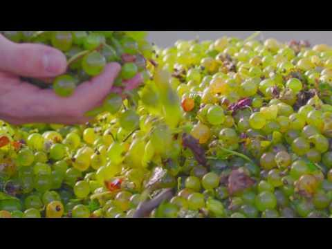 Missouri Wines: Worth The Work (Harvest)